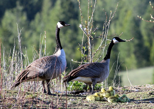 canadageese09