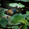 นกพริก  Bronze-winged Jacana by somchai@2008