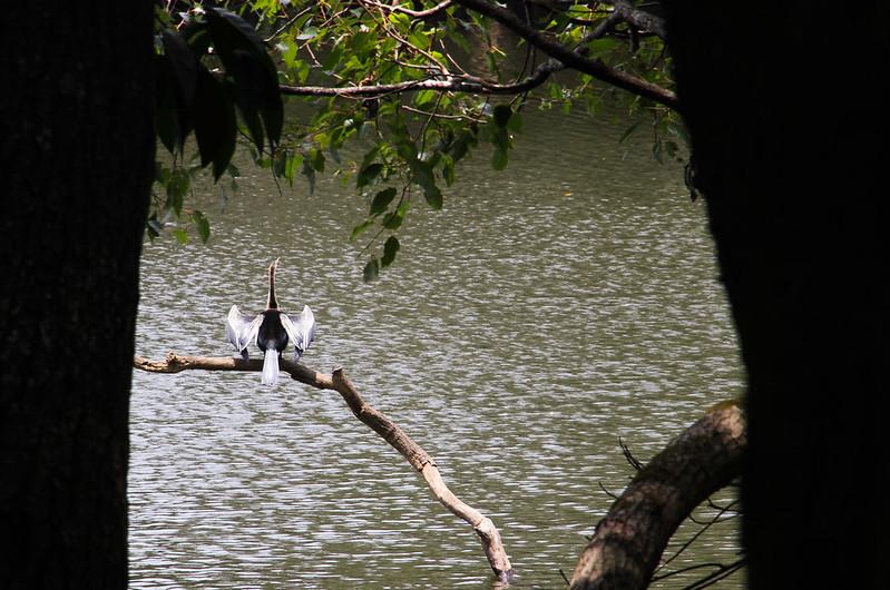 Birdwatchers' delight - A Darter resting on a branch at Kuruva Dweep
