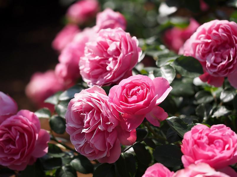Rose, Leonard da Vinci,  ??, ?????????,