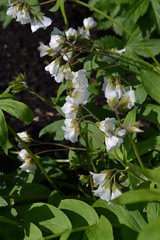 POLEMONIUM reptans 'Virginia White'