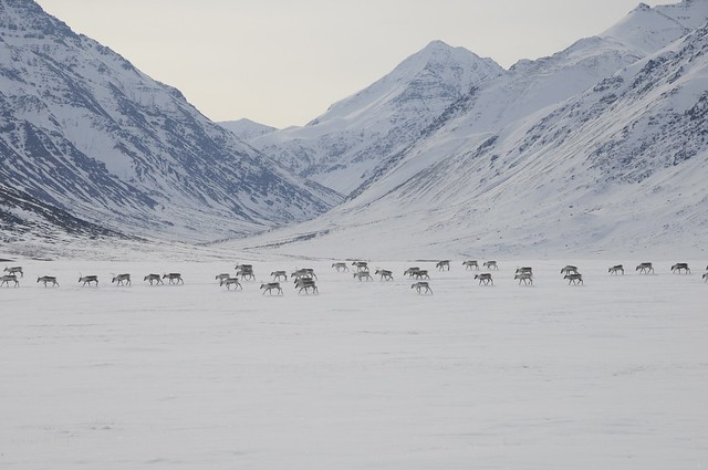 caribou movement in spring