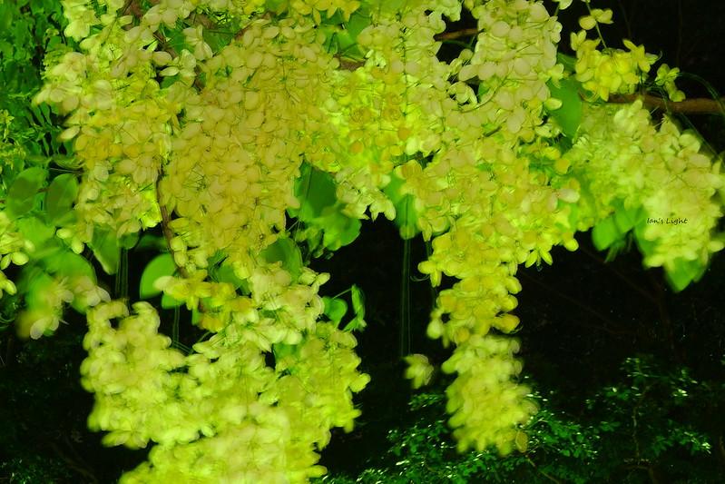 『夜樂』-夏夜的大黃花:阿勃樂 (Panasonic Lx5)