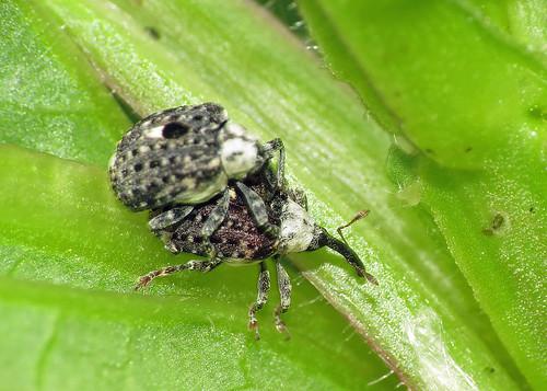 Figwort Weevil - Cionus scrophulariae