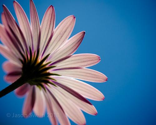 Wild Pink Daisy Macro