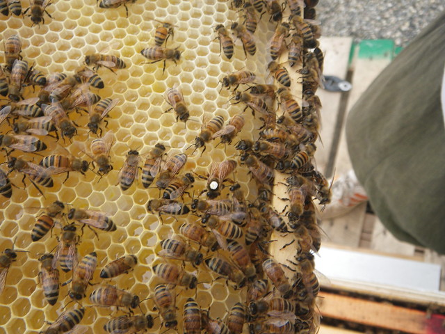 queen searching for space on the honey comb