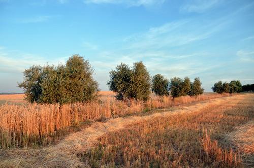 Castilla La Mancha. Campos de trigo y olivos.