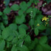 Small photo of Agrimonia pubescens - Downy Agrimony