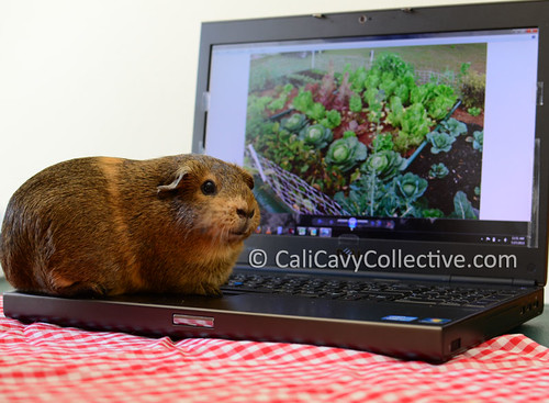 guinea pig link roundup Belka on laptop