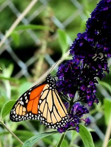 Monarch on Black Knight Butterfly Bush 2013
