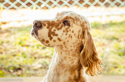 Profile [Banjo, English Setter] by dgarkauskas