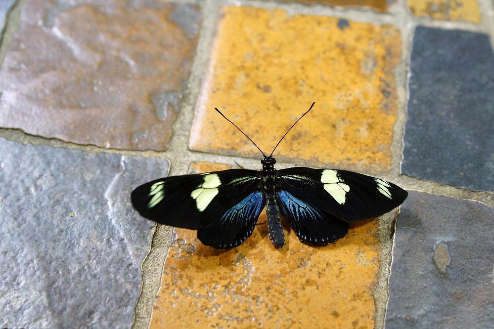 美洲蛺蝶 -3