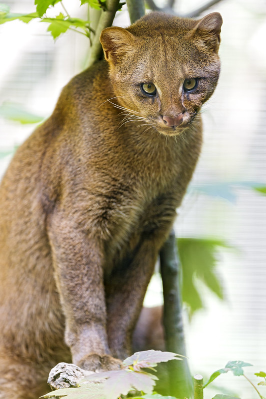 Cute posing jaguarundi