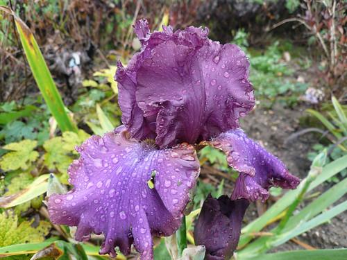 October iris