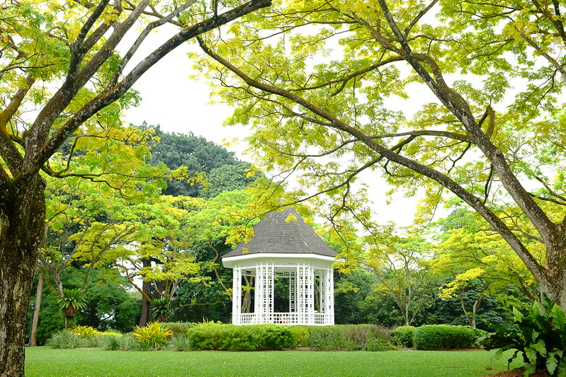 Rain tree (yellow variety) and bandstand