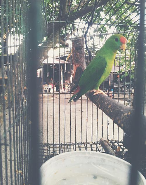 killer parrot