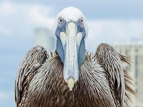 Pelican's Captive Attitude