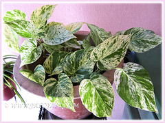 Epipremnum aureum 'Marble Queen' (Pothos, Money Plant), February 22 2014