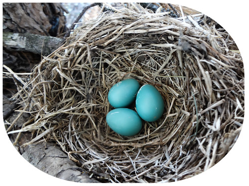 Three blue eggs in a nest