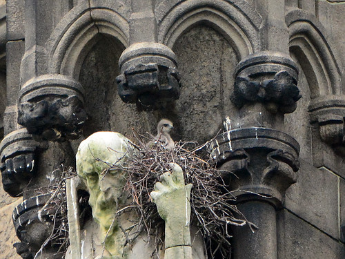 Cathedral Hawk Nestling (9591)