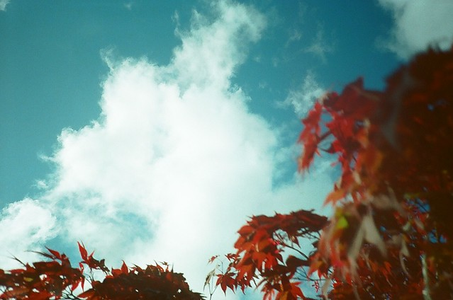 Acer with Sky