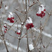 Fresh snow on berries by bobtravis