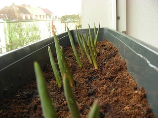 Like a proper grown-up I have planted tulips on my windowsills*