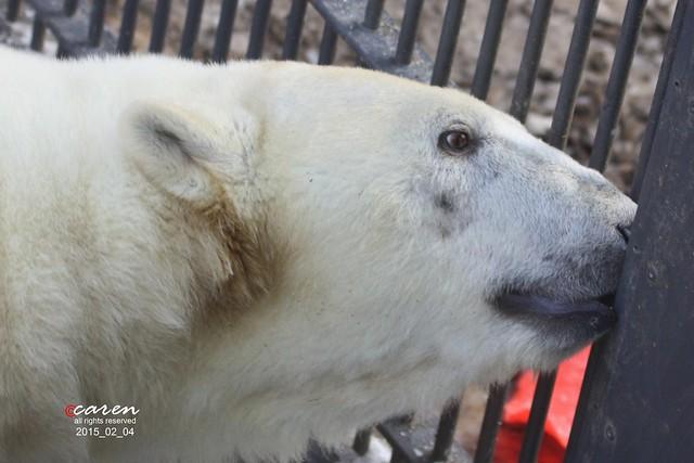 Eisbär Giovanna 2015_02_04 035