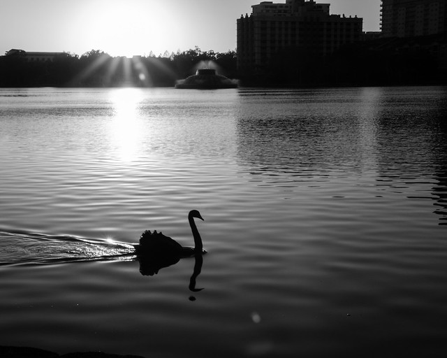 Swan at Dawn - BW