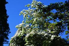 Beautiful Cornus tree