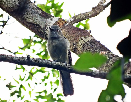 Rhytipterna simplex (Vissiá/Grayish Mourner)