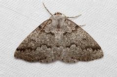Enypia packardata (Packard's Girdle Moth) Hodges # 7007