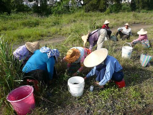 夏天大雨後部落集體去採集lalepela(葛仙米藻或雨來姑) 。 (盧建銘 攝於中壢)