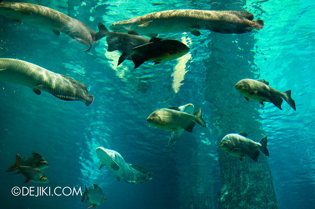 River Safari - Amazon Flooded Forest main display / Manatee and Arapaima 2
