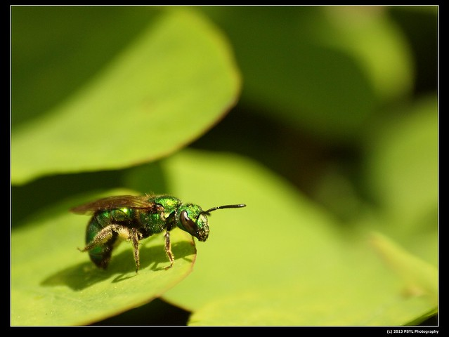Resting Green Bee