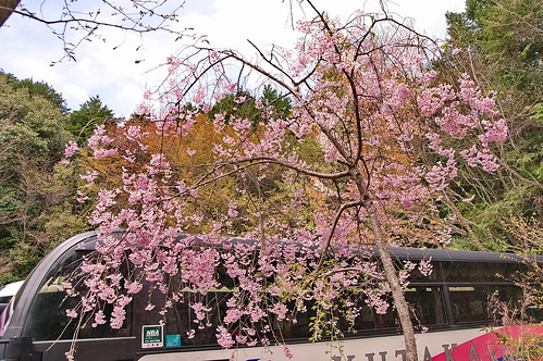 【写真】2013 桜 : 大原野神社/2021-01-15/IMGP0060