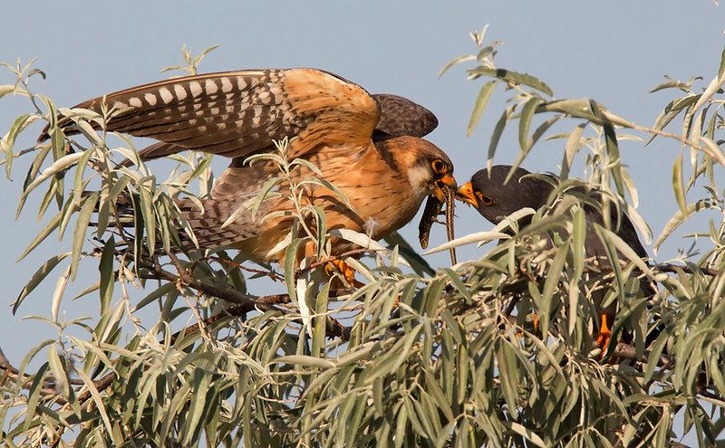 Red-footed Falcons - it was great to watch their behaviour in their natural environment - high up!