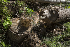woodland, tree stump, soil, wood, tree, plant, trunk,