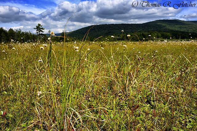 Cottongrass Cranberry Glades Botanical Area