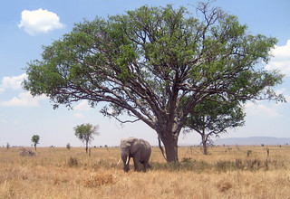 Elefant (Serengeti)