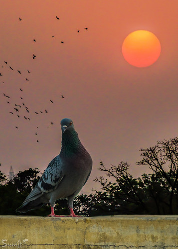 trees sunset sun birds pigeons