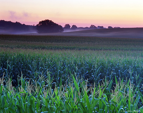 minnesota corn cornfield
