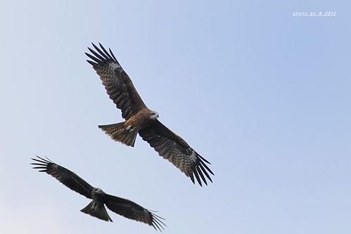 黑鳶就是一般習稱的老鷹,因為農藥濫用,黑鳶也間接受害。(攝影:謝季恩)