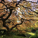 Japanese Maple by _Ryno_
