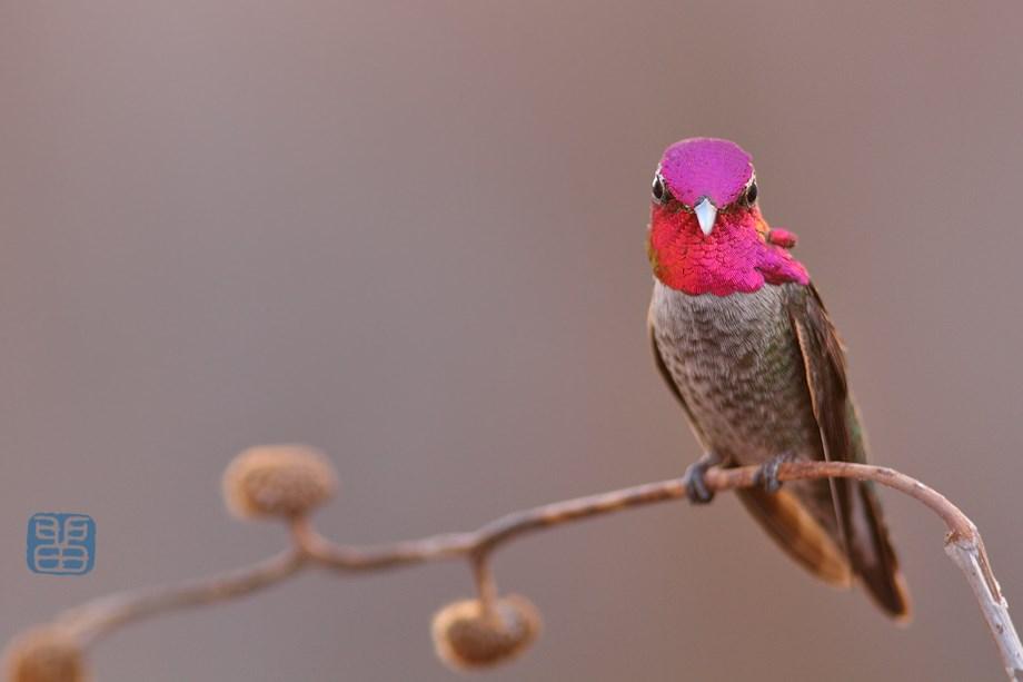 Anna's Hummingbird 111513