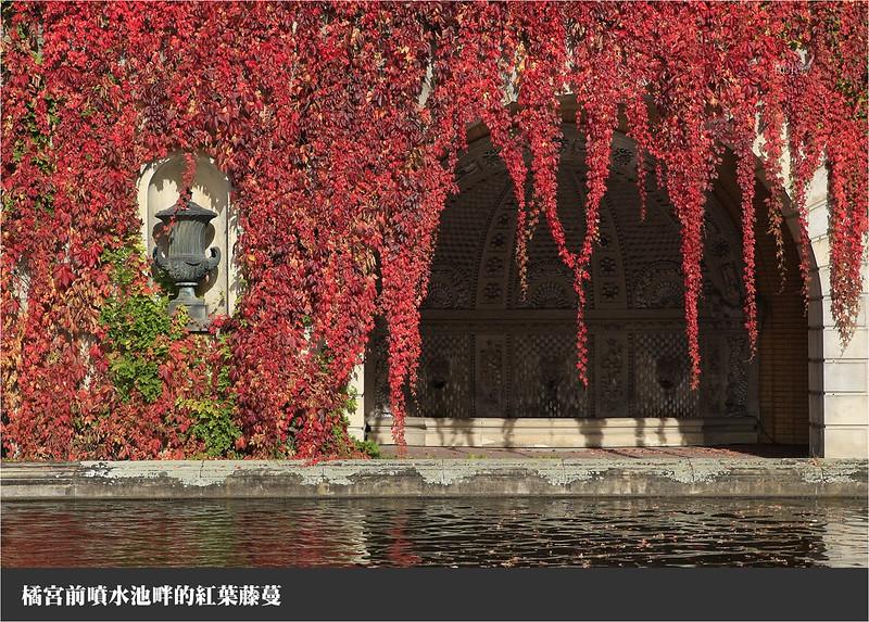橘宮前噴水池畔的紅葉藤蔓