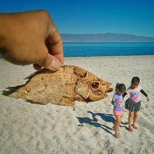 """'Mila, I have to tell you a secret.""""  We made it to Salton Sea today to check out the beach on the west end. Each year, the salinity of this below-sea-level inland lake increases as there are no outlets for the water to escape other than evaporation. It's"""