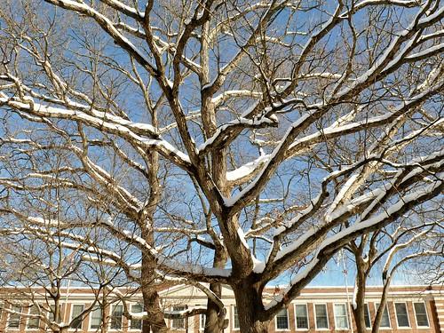 Snow on oak trees