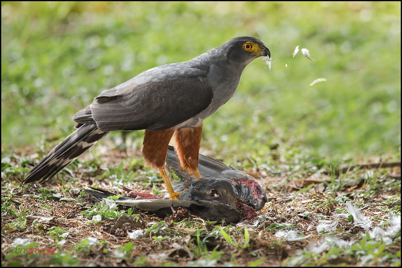 Bicoloured Hawk (Accipiter bicolor) with prey