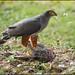 Small photo of Bicoloured Hawk (Accipiter bicolor) with prey